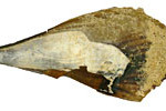 Horse mussel
