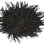 black-urchin-idic