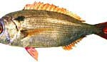 Cape white seabream