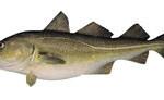 Arctic cod