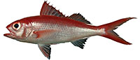 flame-snapper
