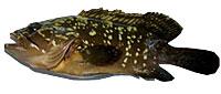 grouper_epinephelus