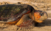 Loggerhead turtle on sand