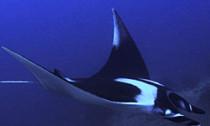 my-manta-ray