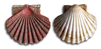 scallop_indic