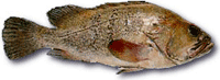 sea-bass-indic