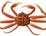 snow-crab_indic