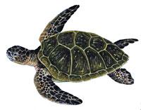 turtle_indic
