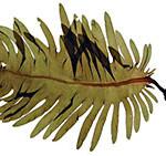 Japanese wakame seaweed