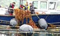 seaweedfarm_020713