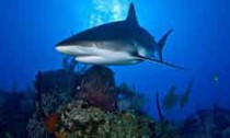 Grey reef shark patrolling reef