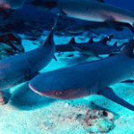 white tip reef sharks