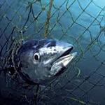 Tuna caught in net