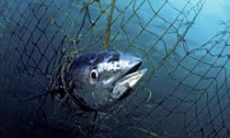Tuna caught in net