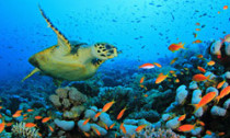 Turtle in coral reef