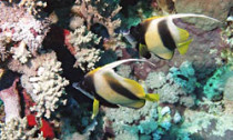 Two bannerfish