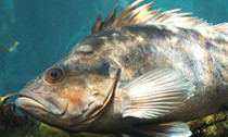 rockfish_131213