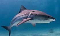 tiger-shark_270114