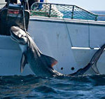Three more sharks - two undersize - hooked on SW drum lines