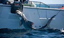 Caught tiger shark