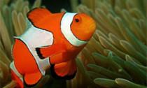 clownfish_160414