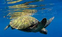 Sea Turtle near surface