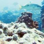 Arabian Gulf coral reefs dying a slow death