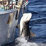 shark-cull_180914
