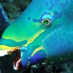Parrotfish: Harm or Help Corals?