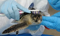 Sea turtle being scrubbed with toothbrush