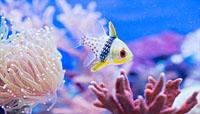 damsel fish