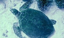 marsa shagra turtle