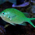 chromis-viridis_071016