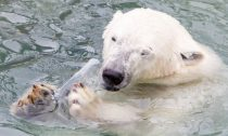 Polar Bear eating plastic