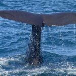 Oil surveys in Gulf would injure 30 million marine mammals