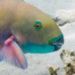 Parrotfish 'Farm' Coral Reefs
