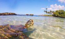 turtle in Hawaii looking at shore