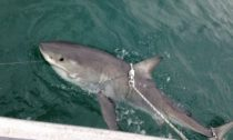 Great White Shark tagged and released