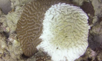 Coral with white syndrome