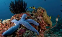 Starfish on a coral reef in Bali, Indonesia