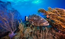 A black grouper patrols a coral garden in Belize