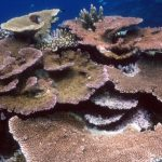 Heatwaves 'cook' Great Barrier Reef corals