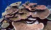 tabular or table corals provide shelter for smaller reef dwellers