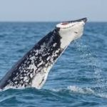 Rise in Tailless Whale Sightings