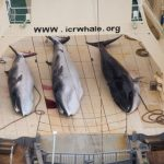 Japanese whale hunters kill 122 pregnant whales