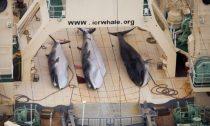 Japanese whale hunters kill 122 pregnant minke whales