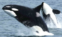 Orca Whale 'Crewser' Presumed Dead as Population Reaches Its Lowest Point Since 1984