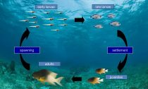 Life cycle of the bicolor damselfish