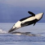 Female orca leaps from the water