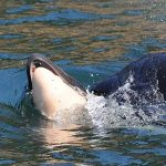 Killer whale finally lets her dead newborn calf go, after 17 days